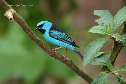 #pracegover pássaro azul e preto sobre galho de árvore em área verde